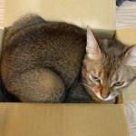 ネコの好奇心(箱)について思うこと(入らずにはいられないのだ!)
