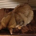 ネコの睡眠について思うこと(うたた寝の秘密)