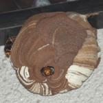チャマ発見!スズメバチ観察記4(※虫のキライな方 閲覧注意)