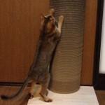 ネコのダンボール好きについて思うこと(ニューアイテム登場!チャマの反応は?)