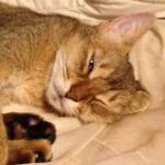 ネコの寝顔について思うこと(うん。イイねえ! その顔イイ!)